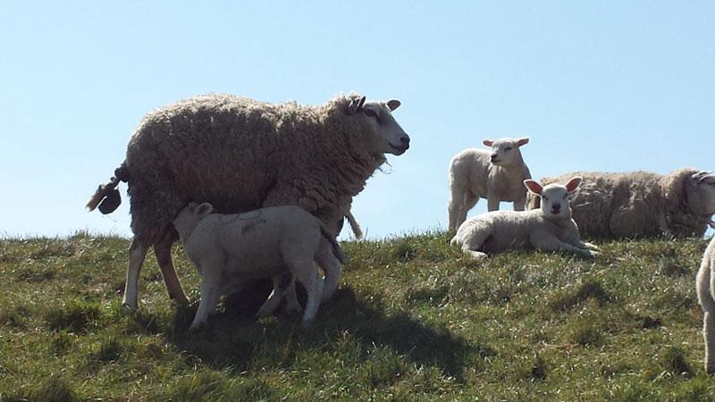 schapen-lammeren